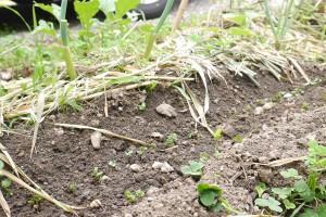 数日置きに収穫サイズに、あっという間に一列は収穫終了。ということで、連作になるので土を少し加えて、もう一回ラディッシュの種蒔き。2日で発芽!温かくなって、さらに成長早いのかも!